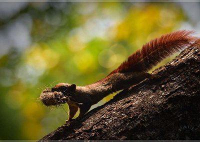 Mammal - Squirrel