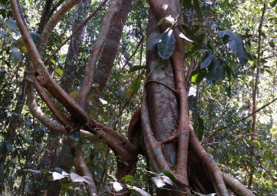 Plantlife--Strangling-Fig1